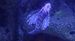 Lionfish aquarium Stock Footage