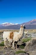 The Andean landscape with Prinacota volcano, Bolivia Stock Photos