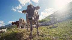 Herd of cows and a goat grazing and relaxing on an Alpine meadow, one of the Stock Footage