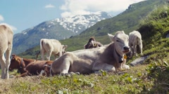 An elegant, large cow is laying on the green grass of alpine meadow, chewing the Stock Footage