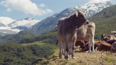 A big Alpine cow in the mountains is looking towards the camera, than turns back Stock Footage