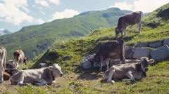 A herd of Alpine cows resting on the green hills of Alps, high mountains and Stock Footage