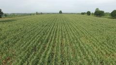 Green corn farm field, Aerial view. UHD 4k, 3840x2160. Stock Footage