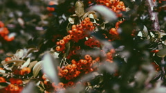 Grapes rowan in the sunset light Stock Footage