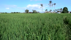Rice field moving with the wind and coconut trees in the background Stock Footage