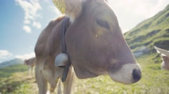 . Close up view of a big Alpine cow in the mountains looking towards the camera Stock Footage