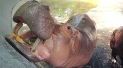 Hippopotamus eating food Stock Footage