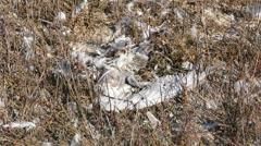 Dead bird feathers Stock Footage
