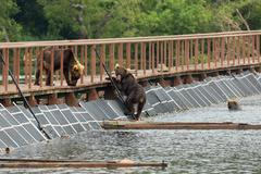 Three young brown bear on fence to account for fish. Kurile Lake Stock Photos