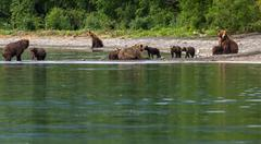 Group of brown bears with offspring on the shore of Kurile Lake Stock Photos