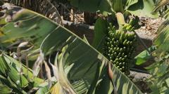LA PALMA -  hidden view of a banana plant Stock Footage