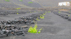 Seedlings on volcanic soil protected by walls Stock Footage
