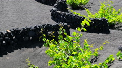 Lanzarote -wonderful view of vine plants protected by small walls of rocks Stock Footage
