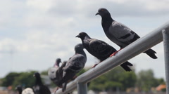 Group of pigeons on bar Stock Footage