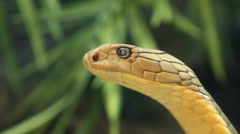 King Cobra Snake, Close Up Stock Footage