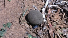 Dung beetle starting to bury his dung ball Stock Footage