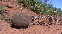 Dung beetle busy rolling his dung ball Stock Footage