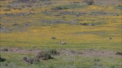 Gemsbok walking in a field of flowers Stock Footage