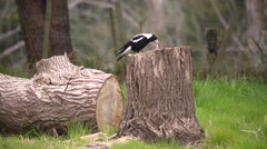 Magpie eats bug Stock Footage