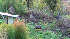Family of wild pheasants and partridges walking in the garden Stock Footage