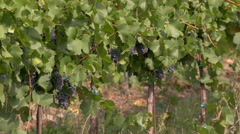 Mature pinot grapes , while a mechanical vine harvester crosses behind. Stock Footage