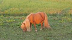 Pony grazing in field,Tiel,Netherlands Stock Footage