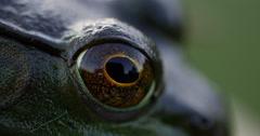 Green Frog Open Yellow and Black Eye Macro Close Up 10bit, 4K Stock Footage