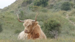 Scottish Highland cattle in dunes,Dunes,Netherlands Stock Footage