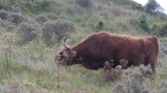 Scottish Highland cattle grazing in dunes,Dunes,Netherlands Stock Footage