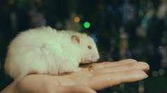 Hamster Put On The Santa Claus Cap Stock Footage