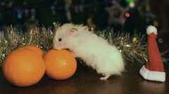 Hamster Biting Mandarine Under The Christmas Tree Stock Footage