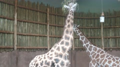 One Giraffe Eating As Another Approaches Stock Footage