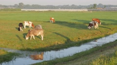 Cows grazing in fields with greenhouses,Polder,Netherlands Stock Footage