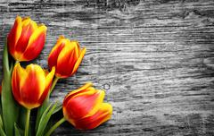 Beautiful bouquet of red and yellow tulips. BW wooden background Stock Photos