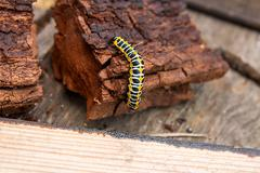 Beautiful black and yellow caterpillar creeps on piece of old brown wood. Stock Photos
