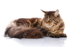 Maine Coon cat lying, isolated on white Stock Photos