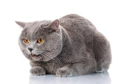 Evil gray British Shorthair cat with brown eyes Kuvituskuvat