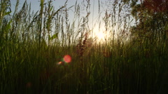 CLOSE UP: Tall spring grass growing on meadow field and swinging in the wind Stock Footage