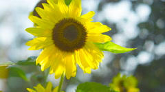 CLOSE UP: Beautiful young yellow flowering sunflower turning to warm sun Stock Footage
