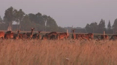 Beautiful roe deer herd in closed enclosure at summer time. 4K Stock Footage
