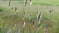 Matured cattails in the springtime Stock Footage