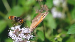 Butterfly and hornet wasp Stock Footage