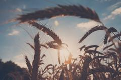 Golden wheat field, harvest and farming, backlight Stock Photos