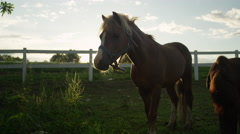 CLOSE UP, DOF: Two cute ponies pasturing on meadow field on horse ranch Stock Footage