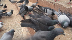 Group of pigeons on ground Stock Footage
