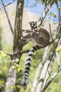 Ring-tailed lemur (Lemur catta), Isalo National Park, Ihorombe Region, Southwest Stock Photos