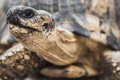 Radiated tortoise (Astrochelys radiata), Madagascar Central Highlands, Stock Photos