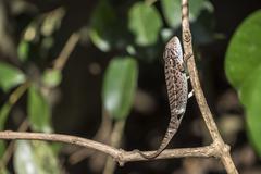 Carpet chameleon (white-lined chameleon) (Furcifer lateralis), endemic to Stock Photos