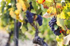 Grapes ripening in the sun at a vineyard in the Alto Douro region, Portugal, Stock Photos
