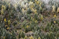 Early in morning frost on trees in Mount Siguniang, an area of outstanding Stock Photos